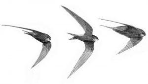Tres Vencejos Comunes (Apus apus) en dibujo