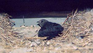 El polluelo de un Vencejo Común (Apus apus)