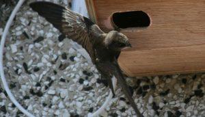 El Vencejo Común (Apus apus) en su caja nido