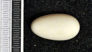 Huevo del Vencejo Común (Apus apus)