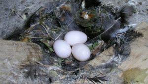 Nido y huevos del Vencejo Común (Apus apus)