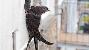 Vencejo Común (Apus apus) en la puerta de su nido