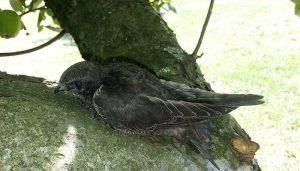 Vencejo Común (Apus apus) en un árbol