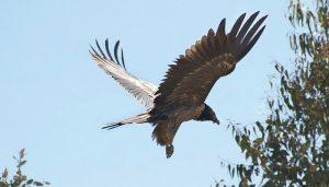 El buitre barbado (Gypaetus barbatus) apunto de aterrizar