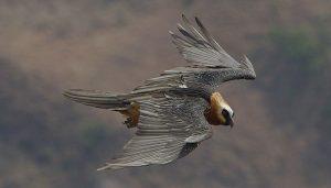 El buitre barbado o quebrantahuesos volando