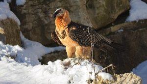 El quebrantahuesos (Gypaetus barbatus) en la nieve