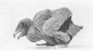 Foto de una cría del Quebrantahuesos
