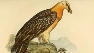 Ilustración del buitre barbado(Gypaetus barbatus)