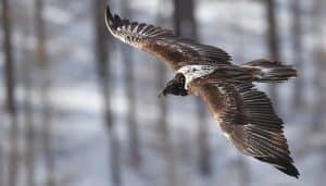 Quebrantahuesos (Gypaetus barbatus) volando