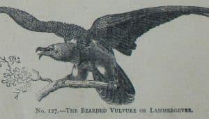 Dibujo del quebrantahuesos (Gypaetus barbatus)