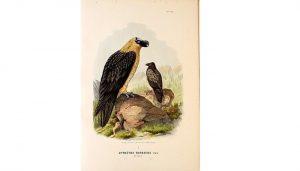 Ilustración del Gypaetus barbatus (quebranta huesos)