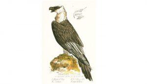 El quebrantahuesos (Gypaetus barbatus) en Dibujo