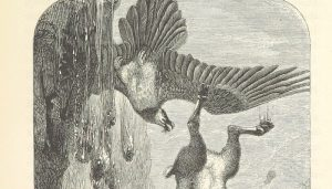 Dibujo del quebrantahuesos con su presa
