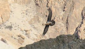 El Gypaetus barbatus o buitre barbado buscando comida