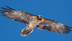 El buitre barbado, quebrantahuesos extendiendo sus alas