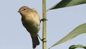 El mosquitero común (Phylloscopus collybita) sobre uan rama verde