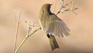 El ave mosquitero común (Phylloscopus collybita) estendiendo sus alas