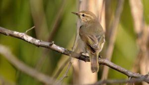 El ave mosquitero común sobre una rama seca