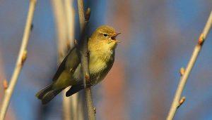 El mosquitero común (Phylloscopus collybita) cantando