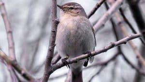 Bello mosquitero común (Phylloscopus collybita) sobre un árbol seco