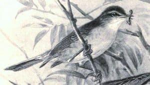 Dibujo del mosquitero común (Phylloscopus collybita) comiendo