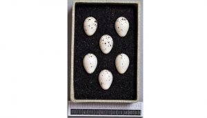 Huevos del mosquitero común (Phylloscopus collybita)