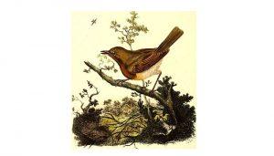 Imagen ilustrativa del Petirrojo europeo (Erithacus rubecula)