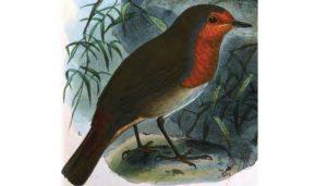 Pintura del Petirrojo europeo (Erithacus rubecula)