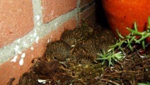 Los polluelos del Petirrojo europeo (Erithacus rubecula)