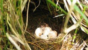 Nido y huevos del Petirrojo europeo (Erithacus rubecula)