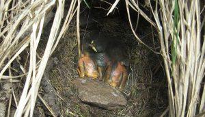 Pequeños polluelos del Petirrojo europeo