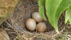 El nido del Petirrojo europeo (Erithacus rubecula)