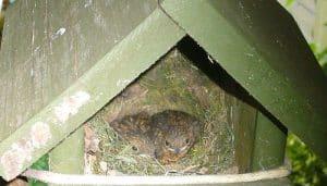Casa nido del Petirrojo europeo (Erithacus rubecula)
