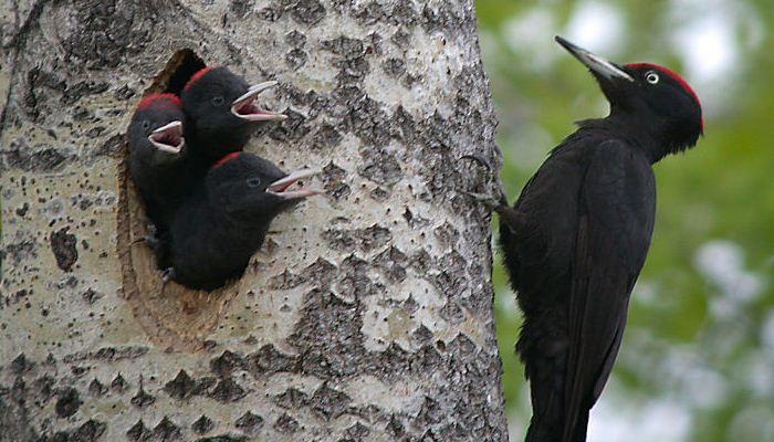 Pito negro (Dryocopus martius) en nido con sus pichones