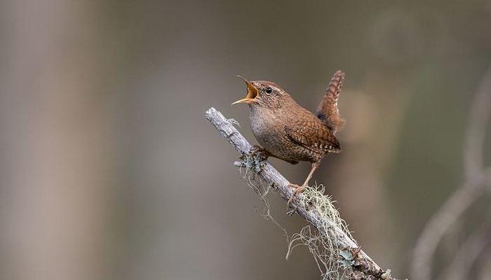 El chochín común cantando sobre una rama