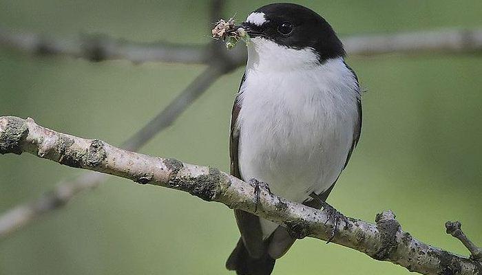 El ave papamoscas cerrojillo (Ficedula hypoleuca)