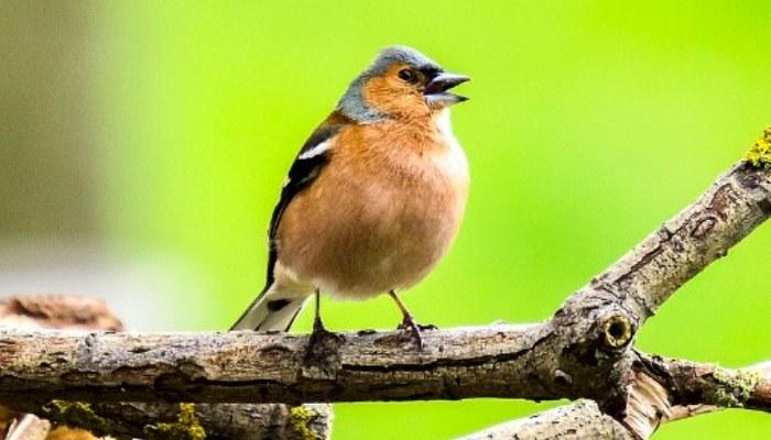 El pinzón vulgar (Fringilla coelebs) expresando su canto