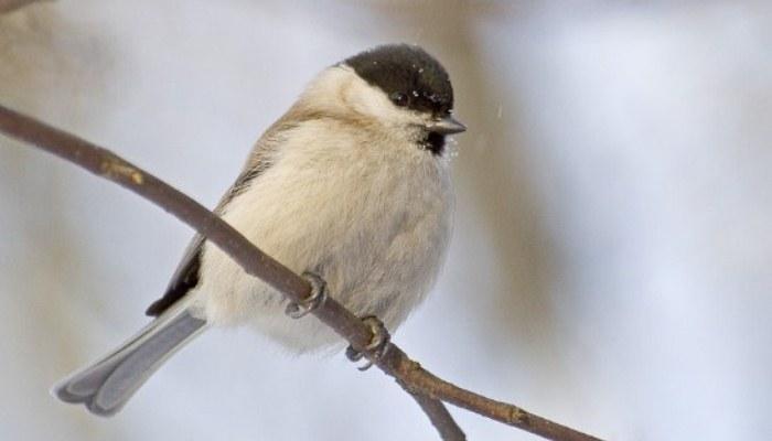 Ejemplar del ave llamada carbonero palustre