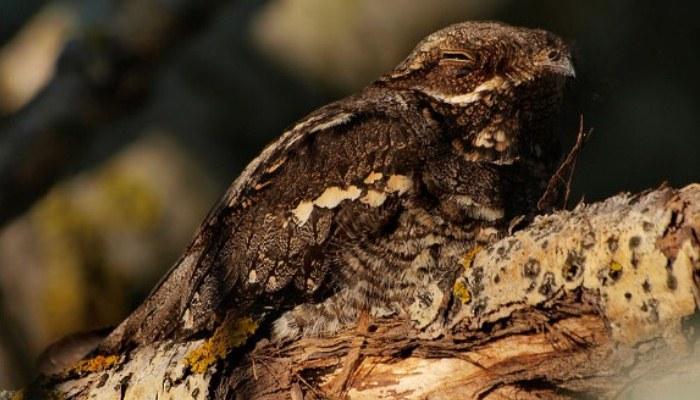 Bello chotacabras europeo (Caprimulgus europaeus) sobre la rama de un árbol