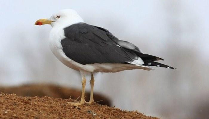 Linda ave gaviota sombría (Larus fuscus)