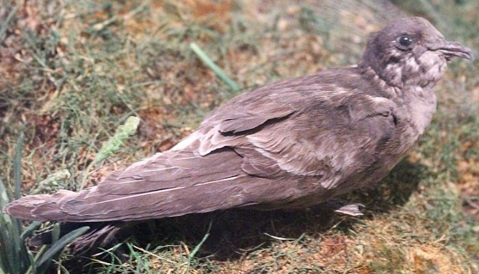 Foto cercana de la cría de un paíño europeo