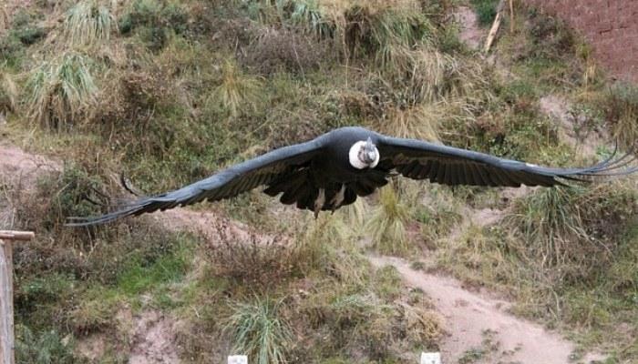 Foto del cóndor (Vultur gryphus) volando