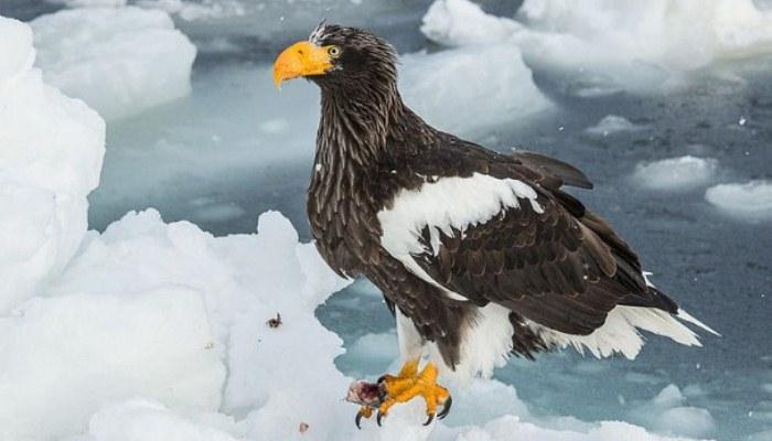 Ave llamada pigargo (Haliaeetus pelagicus)