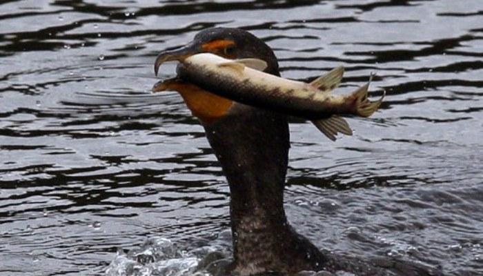 Cormorán en con un pescado