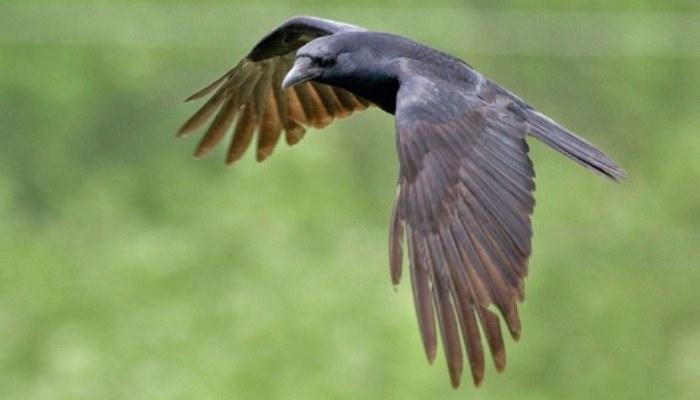 Cuervo volando