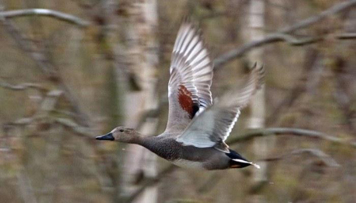 Pato Friso volando