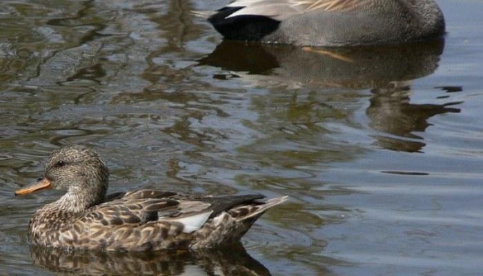 Pato en un lago