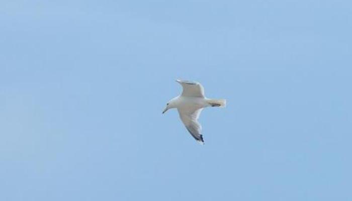 Una gaviota volando