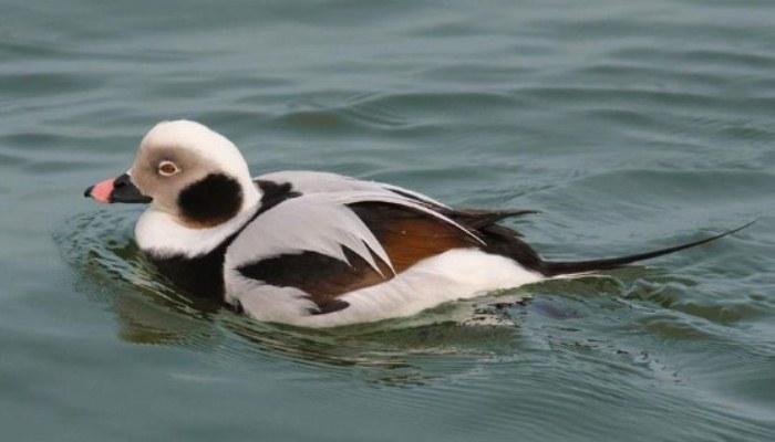 Pato Havelda en el agua